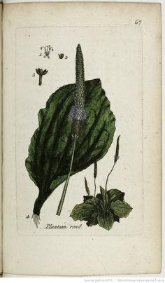 PLANTAGO - Pla(n)tago major. Le grand plantin / Le plantin ordinaire / Le plantin large ou à larges feuilles