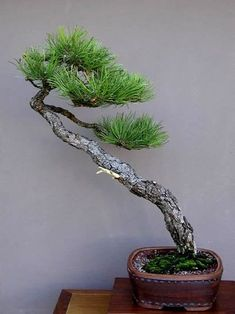 Image result for ponderosa pine bonsai