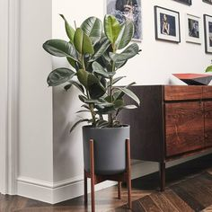 How to take care of Ficus Elastica Burgundy. Similar plants to Green Rubber Plant and plants with same care. Ficus Elastica, Pot Plante, Outdoor Plants, Potted Plants, Garden Plants, House Plants Decor, Plant Decor, Best Air Purifying Plants, Small Spaces