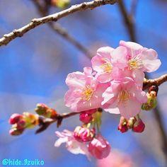 【hide.3zuiko】さんのInstagramをピンしています。 《おはようございます♪昨日は熱海から河津へと桜を見に行ってきました。熱海桜は散り始めてました(^_^;)河津は原木にすこーしだけ開いているのがありましたよ♪これから桜の季節だなーとワクワクしてきます♪  M.ZUIKO12-100 4  #はなまっぷ #captures_flowers  #ザ花部 #loves_flowers_ #phx_flowers #whim_fluffy #lovely_flowergarden #花撮り隊 #great_captures_flowers #floral_splash #natura_friends #superb_flowers #loves_garden #special_flower_collections #la_flowers #kings_flora #tv_flowers #my_daily_flower #flowerstalking #wp_flower #flipping_flowers #favv_flowers #7flowers_1day…