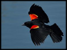 Black Bird with Red On Wings