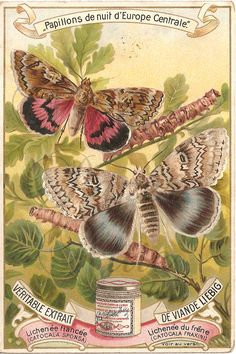 Butterflies and Caterpillar Antique French Chromo Litho Trade Card Liebig from Vintage Paper Attic. $9.99, via Etsy.