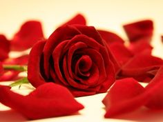 Amazing Red Rose Petals Wallpapers can be downloaded for free at http://goo.gl/lkZLh7