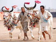 Bulls at the horse and cattle show in Hyderabad at the Sindh Festival, Pakistan. Pakistan Country, Show Cattle, Paradise On Earth, Camel, Horses, Culture, Beautiful, History, Identity