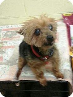 Wetumpka, AL - Yorkie, Yorkshire Terrier. Meet 42233  Custer, a dog for adoption. http://www.adoptapet.com/pet/11942591-wetumpka-alabama-yorkie-yorkshire-terrier