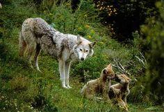 Le loup : caractéristiques, descriptif, mode de vie…. | le hurlement des loups