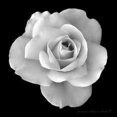 Soft light on black and white rose flower by Jennie Marie Schell. #rose#WhiteRose#BlackAndWhite