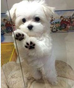 What breed of dog is a Maltese? Facts and Pictures Q: What breed of dog is a Maltese? A: The Maltese is thought to have been descended from a Spitz-type Cute Baby Dogs, Cute Dogs And Puppies, Cute Baby Animals, I Love Dogs, Animals And Pets, Funny Animals, Doggies, Cute Small Dogs, Dog Baby