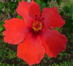 tropical garden addition: red hibiscus.