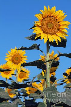 Photo of blooming sunflowers against a solid blue sky, shot near Castroville, Texas.