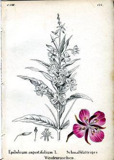 ca 1860 BOTANICAL Chamerion angustifolium Fireweed Antique Print | eBay
