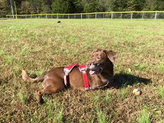 #Tripawds - So thankful for one year!  Mayday is celebrating those 365 days as a tripawd with a little ball play.  She lost her leg to mast cell cancer- grade 2/mitotic index of 5- and did have one lymph node show spread.  Just finished 10 months of Palladia...she's still running, chasing ball and happy!