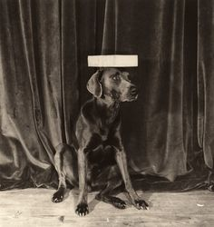 William Wegman: Modeling School, 1974