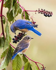 Hazel Erikson from Tennessee landsaped her backyard to attract birds.  This pair of bluebirds was accounted for just two of the many visitors she gets each year.  Photo by Hazel Erikson. 2013 Photo Awards Top 100