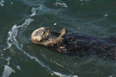 sea otters at Point Lobos