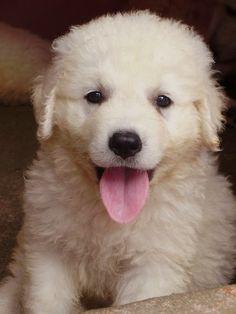 Cutest Puppy Breeds,#3-Samoyed Russian, reindeer herder