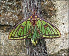 Graellsia isabellae, female by *J-Y-M on deviantART