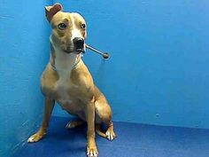 Executed on 4/6/13. Brooklyn Center. LARISSA's animal ID # was A0960860. She was a one-year-old female tan and white pit bull mix.