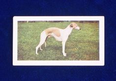 1961 Hornimans Tea Whippet dog trading card, England. Lovely portrait photo. Tea cards and tobacco cards are fun to collect by breed. Each one