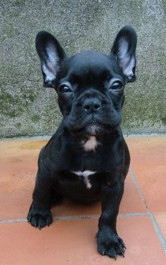 I've always wanted a French Bulldog. I think Samson needs a buddy.