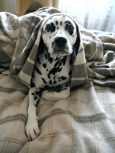 Dalmatian Lika, awesome doggie.....
