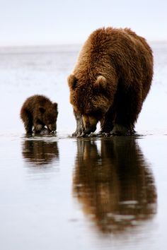We had observed this mother and cub for a few days looking for food at low tide. Over the course of the week, the cub learned to dig for clams, too.Photo Credit: Donated by Rebecca D Logan