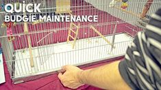 Quick and Easy Budgie Cage Maintenance Parakeet Care, Pet Bird Cage, Keeping Healthy, Budgies, Take Care, Pets, Sweet, Candy, Parakeets