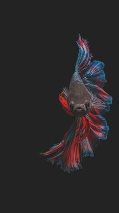 Pretty Fish, Beautiful Fish, Animals Beautiful, Colorful Fish, Tropical Fish, Betta Fish Tattoo, Fish Wallpaper, Beta Fish, Siamese Fighting Fish