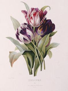 "beautiful-belgium:  "" Tulips - Pierre-Joseph Redouté (1759-1840)  """