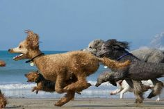A rare sighting of a herd of stampeding poodles in the wild.