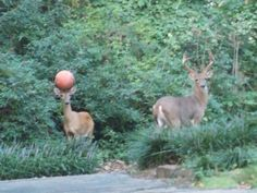 You could lose your ball in the woods and have a helpful deer bring it back: - https://www.facebook.com/diplyofficial
