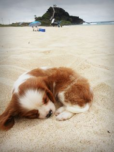 Cavalier King Charles Spaniel at the beach