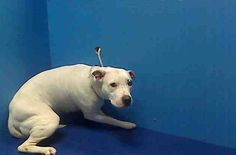 TO BE DESTROYED 4/15/13 Brooklyn Center  SNOWY A0961324 a female white and black pit bull mix about 6 YEARS old. SNOWY was surrendered when her owner became too ill to care for them any longer. She lived a relatively sedate & comfortable life, only to find herself turned into a madhouse & she isn't doing well. Her time is up. Tomorrow she will be gone. ADOPT/FOSTER/RESCUE https://www.facebook.com/photo.php?fbid=594279067251643=a.275017085844511.78596.152876678058553=3