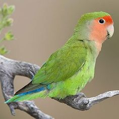 african lovebirds names and types