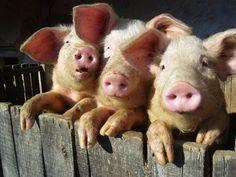 three little piggies... so cute!