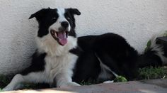 Ringo has been adopted. He likes long walks, fetching games, as well as running and would make a great addition to a family as active as he is. #BorderCollie #Adopt