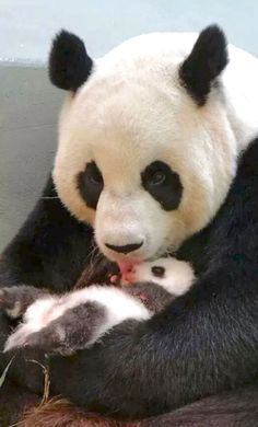 Mother panda licking her tiny cub.