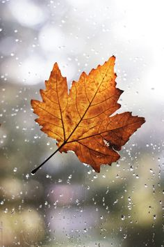 Maple leaf with rain drops attached on window by Jovana Rikalo - Stocksy United Leaf Photography, Autumn Photography, Fall Wallpaper, Nature Wallpaper, November Wallpaper, Autumn Rain, Autumn Leaves, Maple Leaf, Autumn Aesthetic
