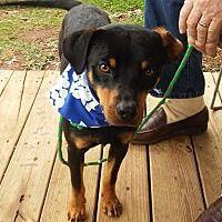 Thomaston, Georgia - Hound (Unknown Type). Meet Copper, a for adoption. https://www.adoptapet.com/pet/17555363-thomaston-georgia-hound-unknown-type-mix