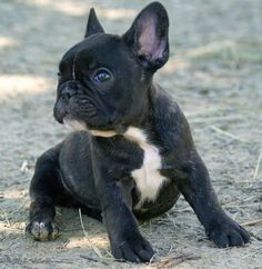Ruby the French Bulldog