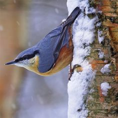 Woodland Trust note cards - nuthatch Love this typical pose, pointing down the tree