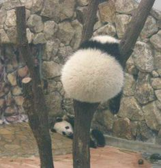 A big round bear bottom, or as I call it, panda butt. Cute Funny Animals, Cute Baby Animals, Animals And Pets, Panda Bebe, Cute Panda, Mon Zoo, Panda Wallpapers, Fluffy Animals, Cute Animal Pictures