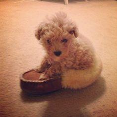 Goldendoodle #puppy in #LLBean wicked good slipper via @emelko