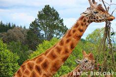 Evolution by natural selection led to giraffes having long necks - http://www.basicbiology.net/biology-101/evolution/