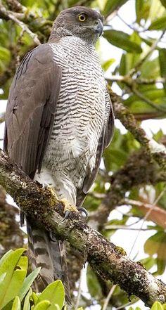 Henst's Goshawk, Madagascar ~ by Ian Merrill Raptor Bird Of Prey, Birds Of Prey, Rapace Diurne, Northern Goshawk, Most Beautiful Birds, Power Animal, Parc National, Big Bird, Raptors