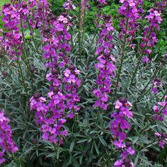 Giroflée arbustive bowles mauve - Erysimum à fleurs mauves, parfumées