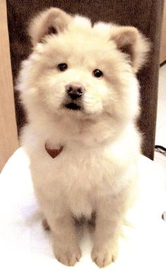 Chow Chow Dogs, Chow Puppies, Chubby, Dog Training Treats, Beautiful Creatures, Dogs And Puppies, Cute Babies, Cute Animals, Happiness