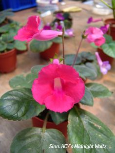 The 301 best flowers trumpet like trumpet images on pinterest in whatsoever things are pure trumpet house plants outdoor plants violets landscaping mightylinksfo