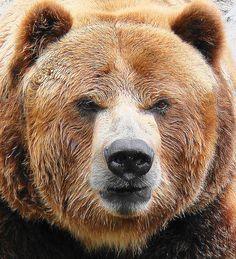 Warren the Grizzly Bear by Paula~Koala, via Flickr