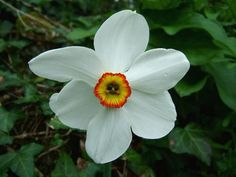 Image from http://www.aphotoflora.com/images/amaryllidaceae/narcissus_poeticus_pheasants_eye_daffodil_flower_17-04-06.jpg.